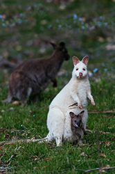 White Wallabies on Bruny Island Traveller